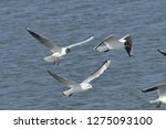 flock of seagulls following a... | Shutterstock . vector #1275093100