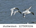 flock of seagulls following a... | Shutterstock . vector #1275093106