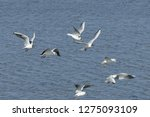 flock of seagulls following a... | Shutterstock . vector #1275093109