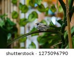 zebra finches on a branch. | Shutterstock . vector #1275096790
