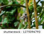 zebra finches on a branch. | Shutterstock . vector #1275096793
