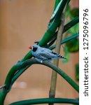 zebra finches on a branch. | Shutterstock . vector #1275096796