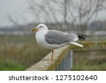 real seagull leaning on a...   Shutterstock . vector #1275102640