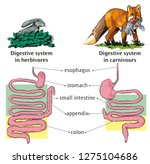 Differences Of Digestive Syste...