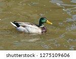 mallard swimming in the water   ...   Shutterstock . vector #1275109606