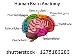 medically accurate illustration ... | Shutterstock .eps vector #1275183283