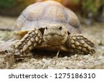 Stock photo close up baby african spurred tortoise resting in the garden slow life africa spurred tortoise 1275186310