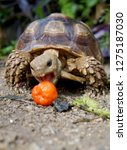 Stock photo close up baby african spurred tortoise resting in the garden slow life africa spurred tortoise 1275187030