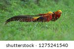 Golden Pheasant Or Chinese...