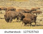 Buffalo Bison In Lamar Valley...
