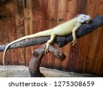 Giant Green Iguana With Long...