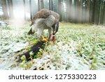 goshawk with killed black... | Shutterstock . vector #1275330223