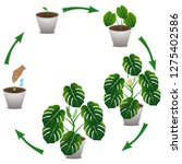 cycle of growth houseplant of a ... | Shutterstock .eps vector #1275402586