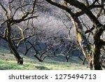 Plum Tree Hill