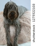 shaggy  dog on a pink poof. the ... | Shutterstock . vector #1275522103
