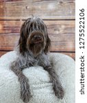 shaggy  dog on a pink poof. the ... | Shutterstock . vector #1275522106
