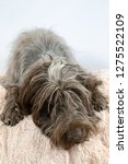 shaggy  dog on a pink poof. the ... | Shutterstock . vector #1275522109