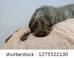 shaggy  dog on a pink poof. the ... | Shutterstock . vector #1275522130