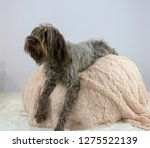 shaggy  dog on a pink poof. the ... | Shutterstock . vector #1275522139