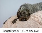 shaggy  dog on a pink poof. the ... | Shutterstock . vector #1275522160