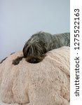 shaggy  dog on a pink poof. the ... | Shutterstock . vector #1275522163