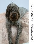 shaggy  dog on a pink poof. the ... | Shutterstock . vector #1275522190