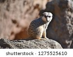 meerkat  suricata suricatta    Shutterstock . vector #1275525610