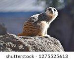 meerkat  suricata suricatta    Shutterstock . vector #1275525613