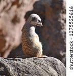 meerkat  suricata suricatta    Shutterstock . vector #1275525616