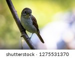 a picture of a shrike a small...   Shutterstock . vector #1275531370