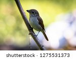a picture of a shrike a small...   Shutterstock . vector #1275531373