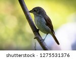 a picture of a shrike a small...   Shutterstock . vector #1275531376