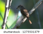 a picture of a shrike a small...   Shutterstock . vector #1275531379