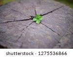 A Four Leaf Clover On A Cut...