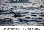 boats chasing dolphins in... | Shutterstock . vector #1275552889