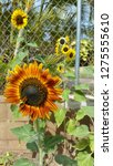 A backyard garden with red and orange sunflower bloom in foreground and many smaller yellow sunflowers and chainlink fence on concrete brick wall in backgroud in Hawaii. - stock photo