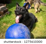 a large black german shepherd... | Shutterstock . vector #1275610300