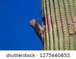 gila woodpecker  melanerpes... | Shutterstock . vector #1275660853