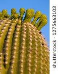 detail of giant saguaro ... | Shutterstock . vector #1275663103