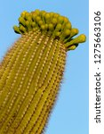 detail of giant saguaro ... | Shutterstock . vector #1275663106