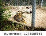 The Tiger Is Locked In A Cage ...