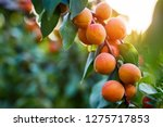 A Bunch Of Ripe Apricots Branc...