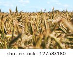 grain field in summer afternoon. | Shutterstock . vector #127583180