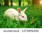 Stock photo white wild rabbit and red eye eating carrot on meadow and green grass nature with tree in the 1275896500
