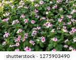 pink flowers and green leaves...   Shutterstock . vector #1275903490