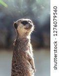 suricata watching  funny meerkat   Shutterstock . vector #1276079560