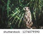 suricata watching  funny meerkat   Shutterstock . vector #1276079590