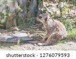 suricata watching  funny meerkat   Shutterstock . vector #1276079593