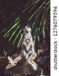 suricata watching  funny meerkat   Shutterstock . vector #1276079596