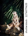 suricata watching  funny meerkat   Shutterstock . vector #1276079620